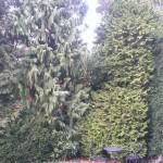 Te grote coniferen tuin te Wassenaar.