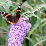 Vlinders onderdeel van de ecologische tuin.