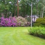 Bloeiende Rhododendrons in tuin te Bosch en Duin.
