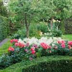 Rozen in tuin te Aarlanderveen.